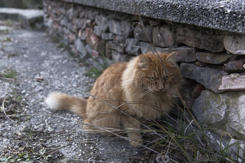 Red cat sitting on the path next to the stone wall and looks carefully forward stock photo