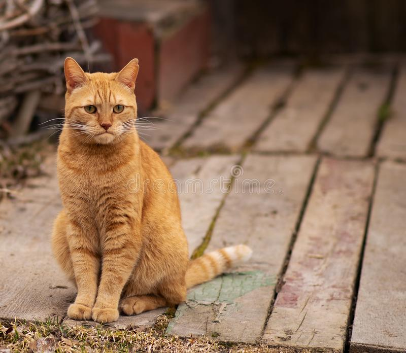 Red cat with a displeased look stock image