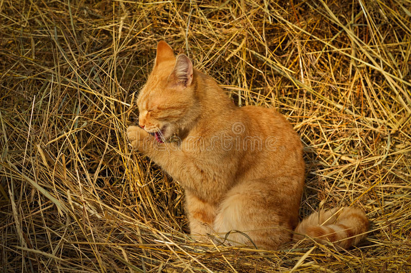 Red cat sitting on yellow hay and washes royalty free stock photos