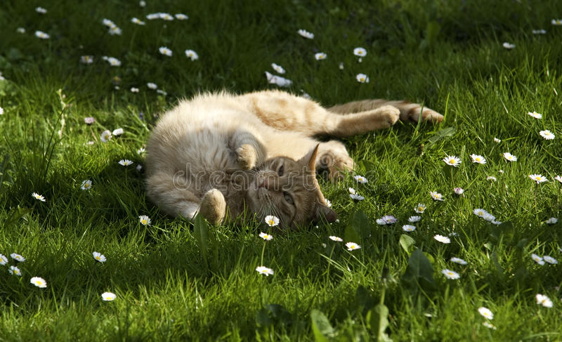 Red Cat In Spring Meadow Royalty Free Stock Photos
