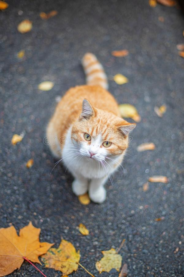 Red cat at the street in autumn. Fall background. Red cat at the street in autumn stock image