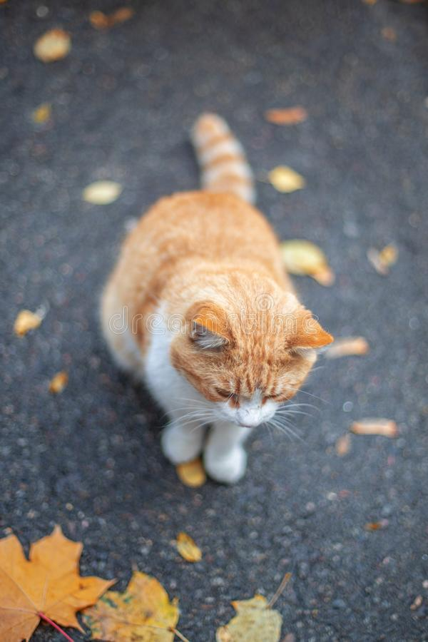 Red cat at the street in autumn. Fall background. Red cat at the street in autumn royalty free stock photo
