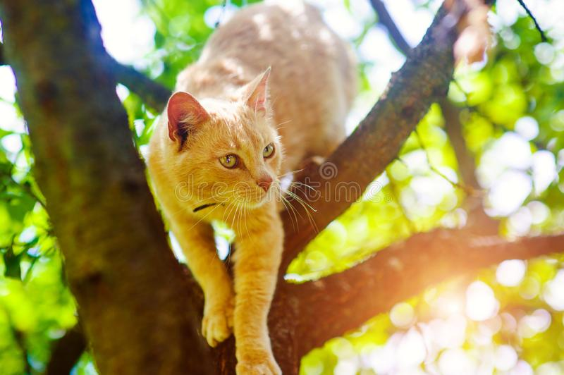 Red cat on a tree. Funny animals. Adorable, background, beautiful, curious, cute, domestic, feline, fluffy, fur, ginger, grass, isolated, kitten, kitty royalty free stock photo