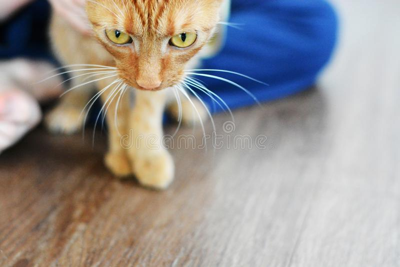A red cat tries to escape from a child in blue pajamas in the morning. Horizontal format, macro cat head with a mustache and. A red cat tries to escape from a stock photo