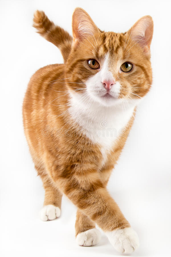 Red cat, walking towards camera, isolated in white. Red male cat, walking towards camera, isolated in white stock photography