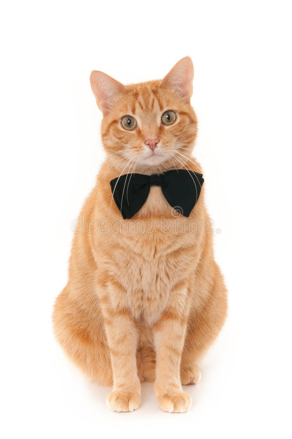 Red cat wearing a black bow tie royalty free stock image