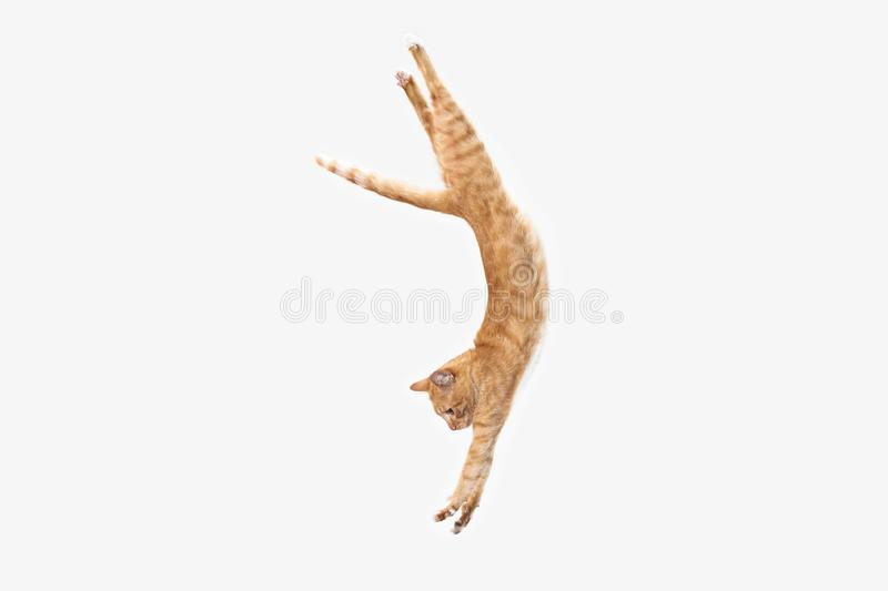 Red cat on a white background. The red serious cat isolated on a white background at studio. The animals emotions concept royalty free stock photos