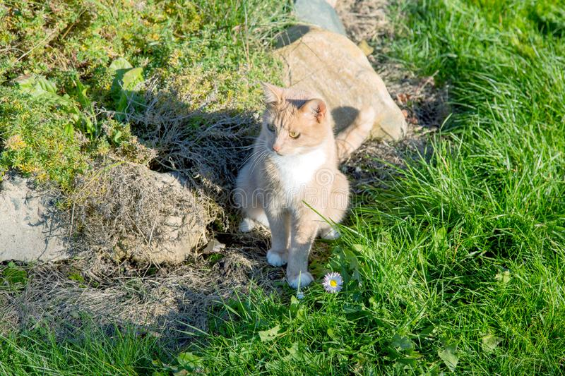 Red cat with white breast sitting near a flower bed. In the garden royalty free stock photos