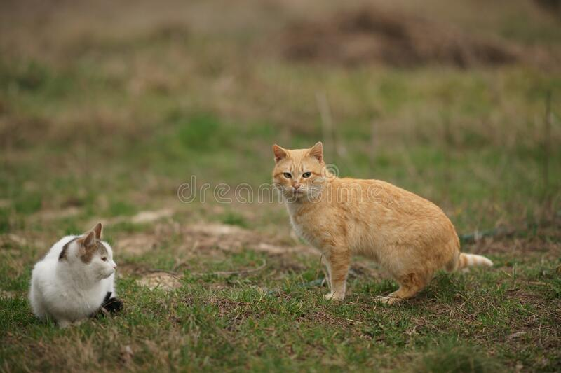 Red cat and white kitty are walking in the spring garden on the green grass. The courtship period. Animal love.  royalty free stock images