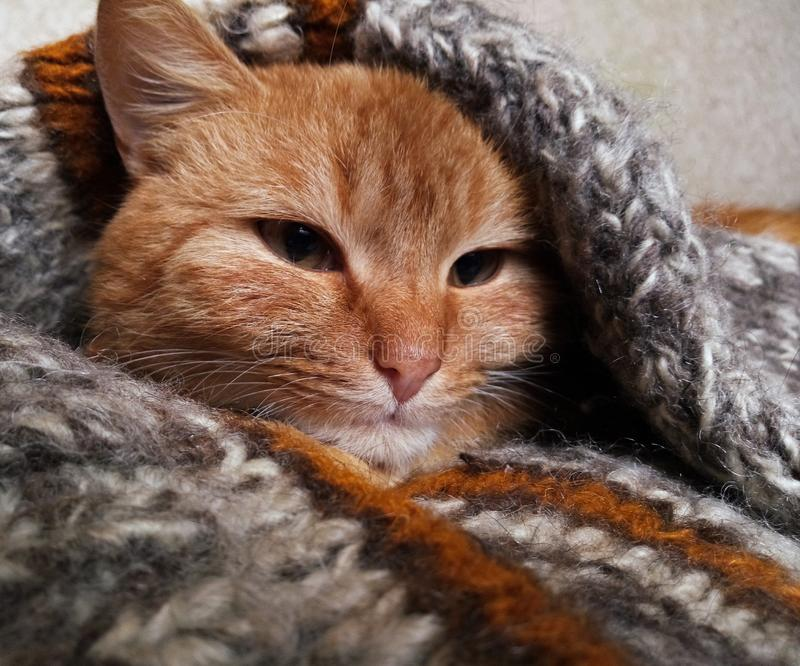 Red cat in a wool knitted sweater stock photography