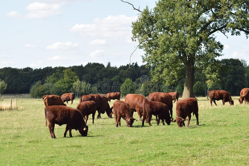 Red cattle grazing in a field, England UK. `Lincoln Red` Cattle grazing in a field on a summers day with a tree in the background. Pictured in England, UK stock photography