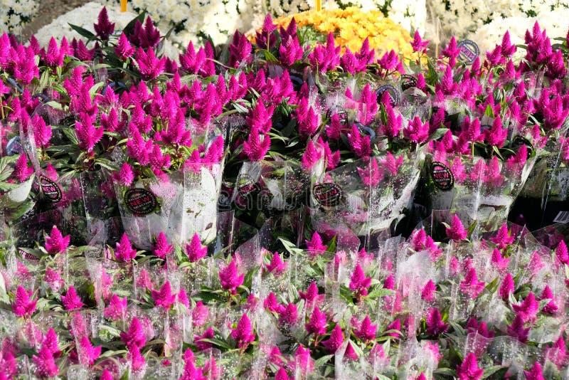 Red Celosia argentea bouquets in floral market. Red Celosia argentea in flowers market stock photo