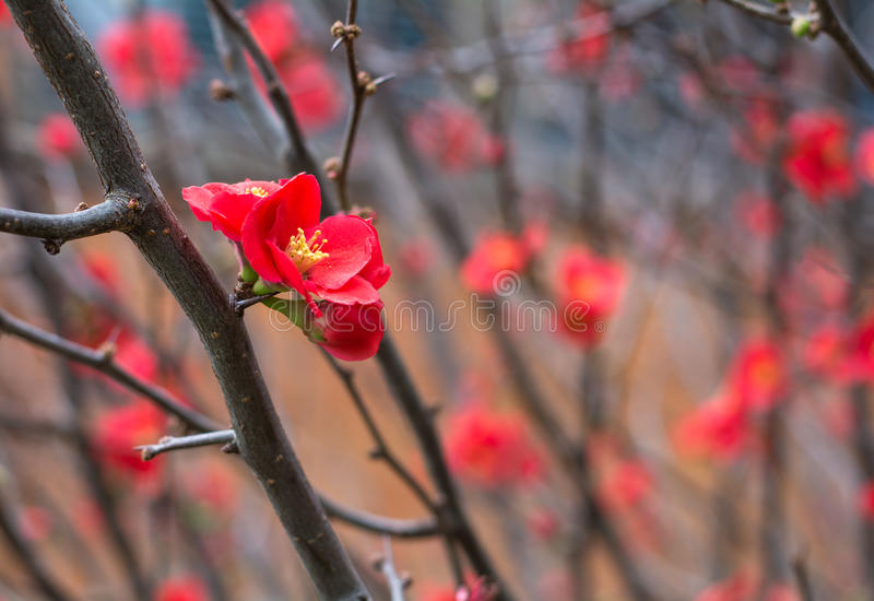 Red Chaenomeles japonica flower on the brunch without leaves in Toowoomba, Australia. Red little Chaenomeles japonica flower on the brunch without leaves in stock images