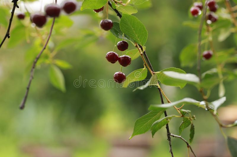 Red cherries on a branch. royalty free stock images