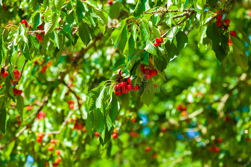 Red cherries growing on the tree in the sunshine stock photo