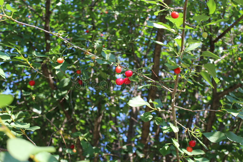 Red cherries are ripe in a large tree. royalty free stock images