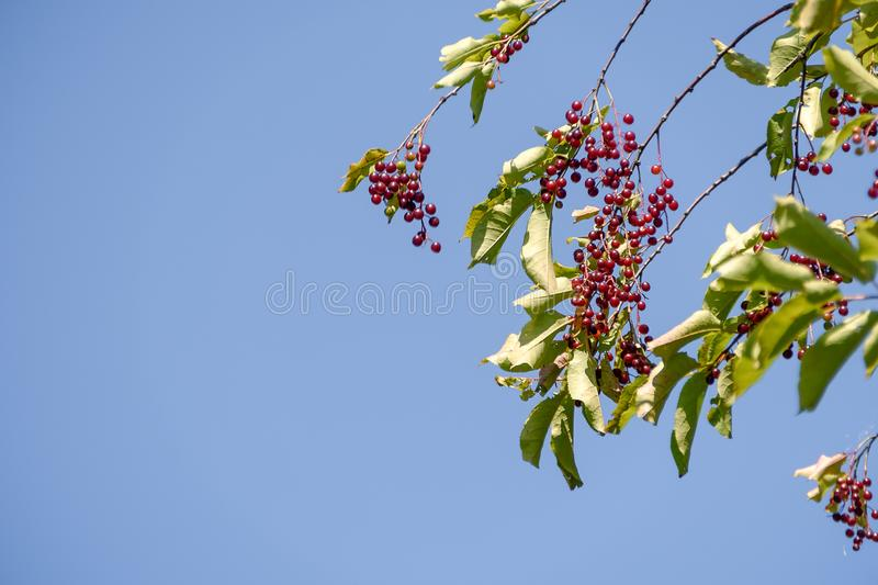 Red cherry berries on a branch against a blue sky background.  royalty free stock photography