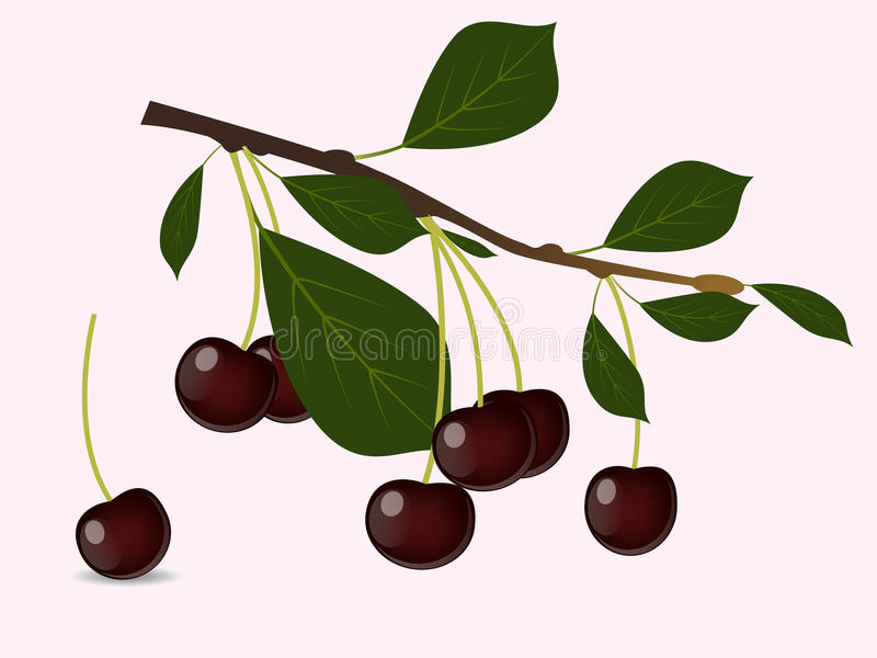 Red cherry branch. A red cherry branch with berries vector illustration