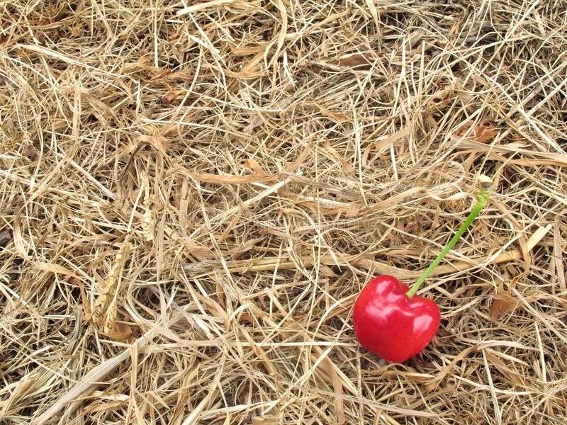 Red cherry on brown straw hay for background. Close up red cherry on brown straw hay for background, have copy space royalty free stock photography