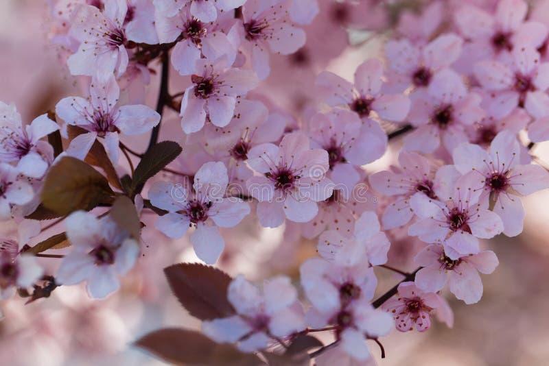 Red cherry plum Prunus cerasifera stock photo