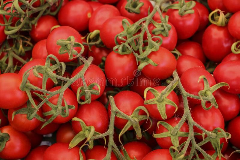 Red cherry tomatoes on green vine royalty free stock photos