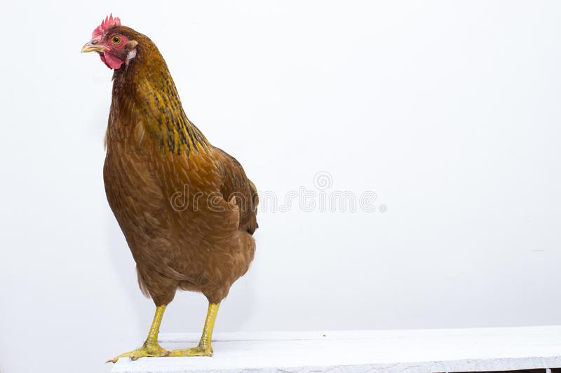 Red chicken standing on rustic white board table top. Clean white composition with plenty of design background. stock photos