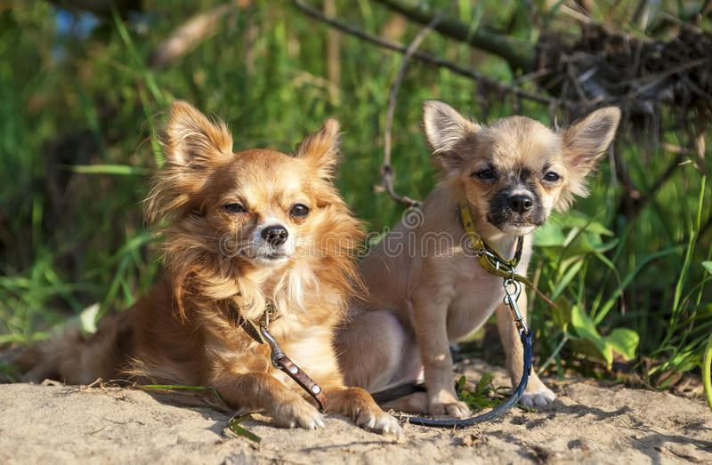 Red chihuahua dog and puppy royalty free stock image