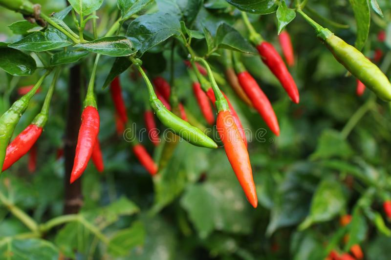 Red chilli fruits ripe on tree. royalty free stock photos