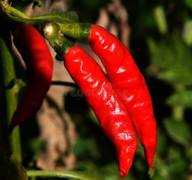 Red Chilli on the plant. As seen growing. Shining crop of chilli stock image