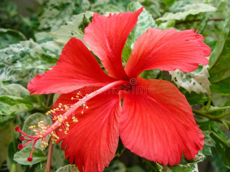 Red China rose. China rose is also called shoeblackplant, Chinese hibiscus, Hawaiian hibiscus or rose mallow. Usually 5 petaled flowers with glossy leaves, these stock photos