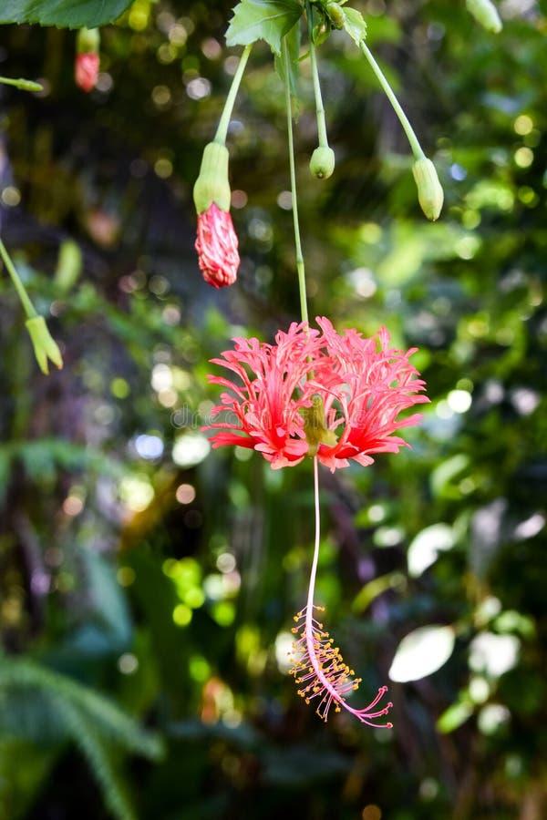 Red Chinese Lantern Hibiscus met stuifmeel op stamen en pistil royalty-vrije stock foto