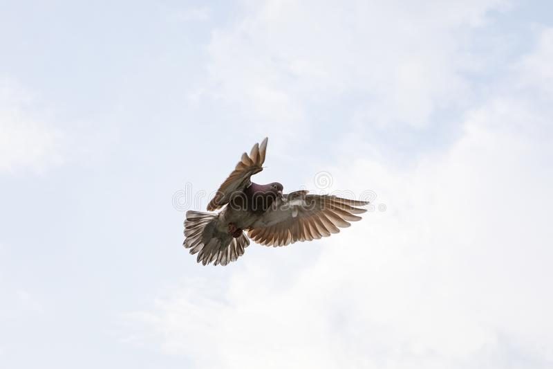 Red choco feather of homing pigeon hovering wing before landing. To ground royalty free stock image