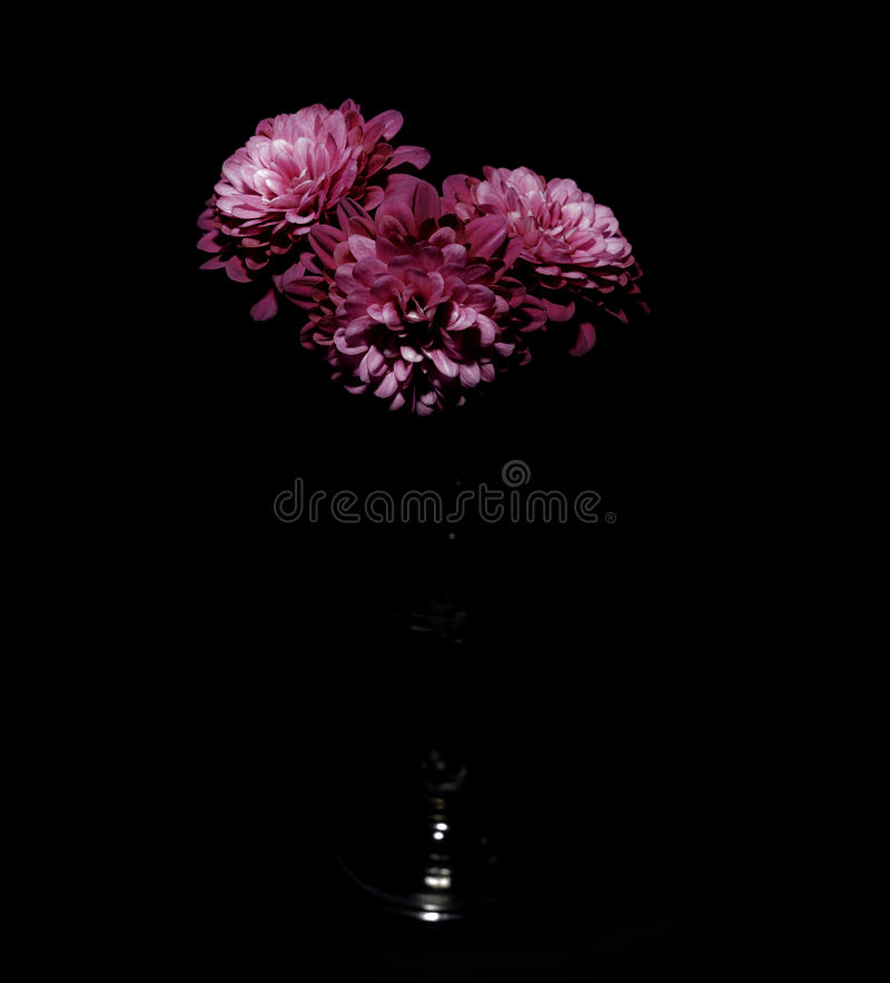 Red Chrisanths flowers Black Back ground. Chrisanths in glass stem vase with black background stock photos