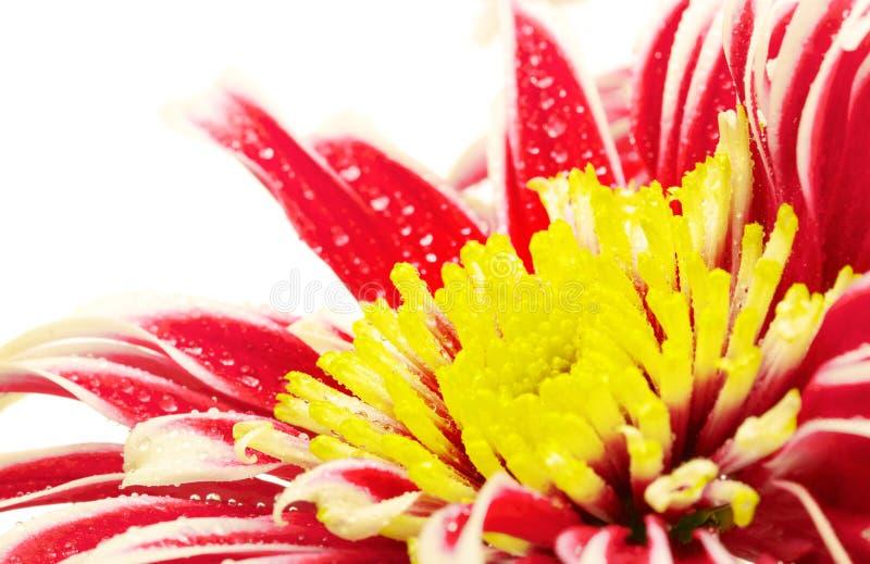 Red Chrysanthemum Closeup stock photography