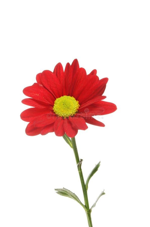 Download Red chrysanthemum flower stock photo. Image of botanical - 105387400
