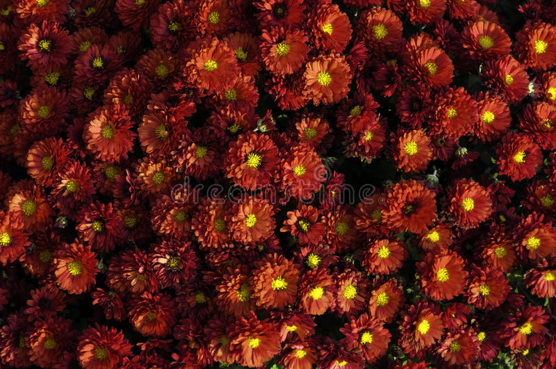 Red chrysanthemum. A huge bouquet of colorful red with yellow chrysanthemum stock photos