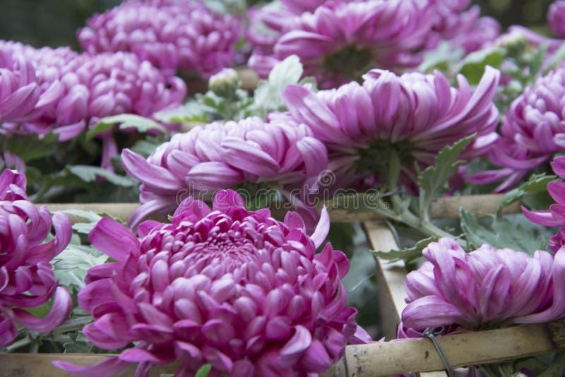 Red chrysanthemum in full bloom royalty free stock images