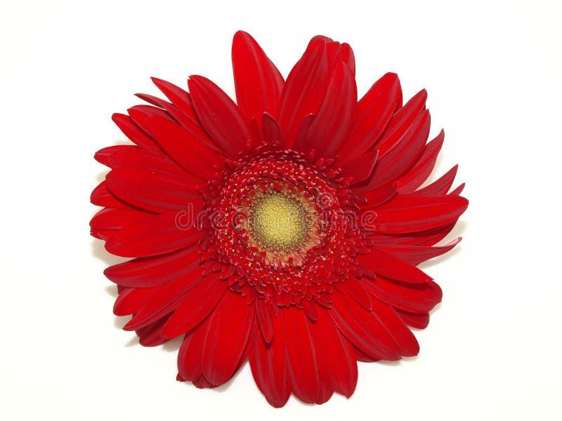 Red Chrysanthemum on White stock photos