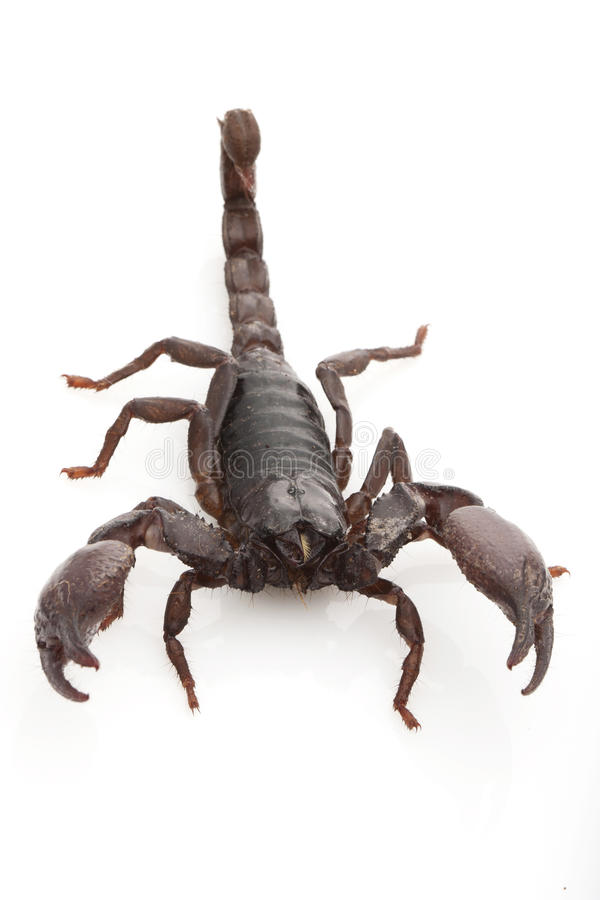 Free Red Claw Scorpion Royalty Free Stock Images - 30716629