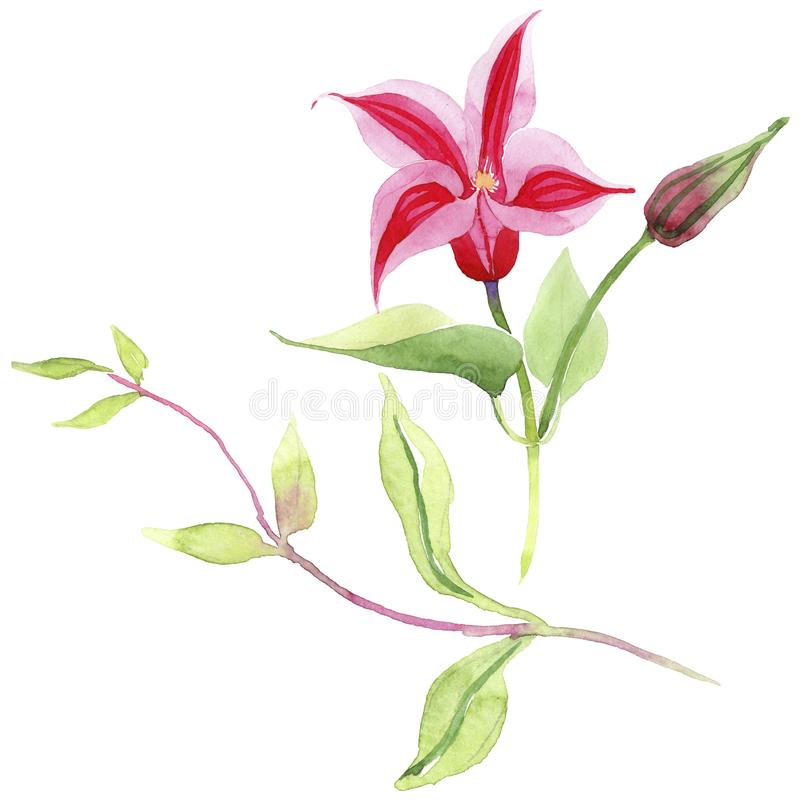 Red clematis. Floral botanical flower. Wild spring leaf wildflower isolated. Aquarelle wildflower for background, texture, wrapper pattern, frame or border royalty free illustration