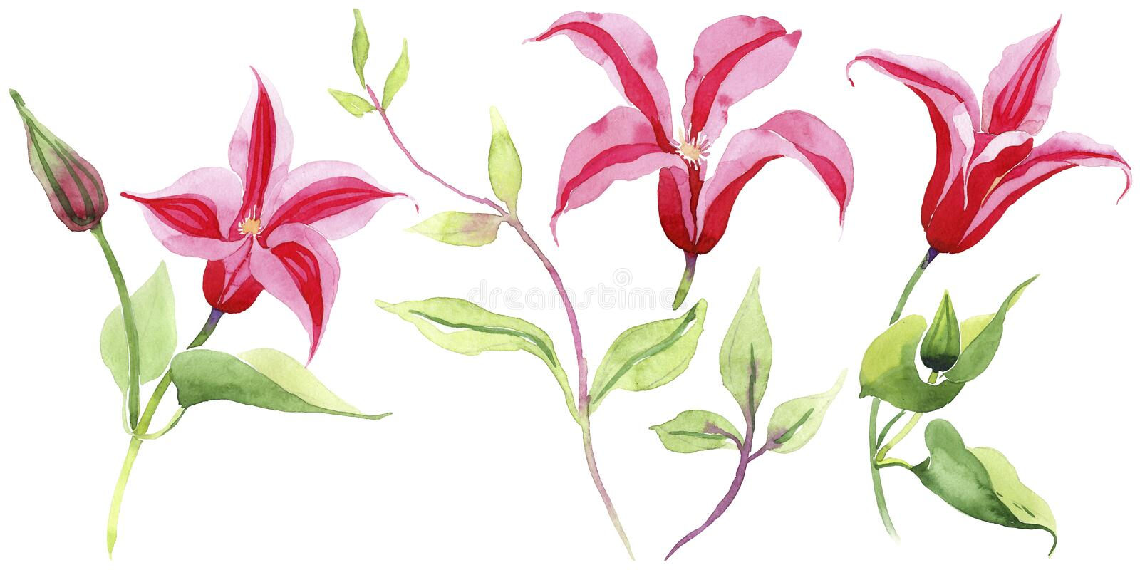 Red clematis. Floral botanical flower. Wild spring leaf wildflower isolated. Aquarelle wildflower for background, texture, wrapper pattern, frame or border stock illustration