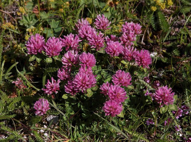 Red Clover royalty free stock photo