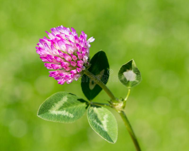 Red clover flower in green blurred background. royalty free stock photography
