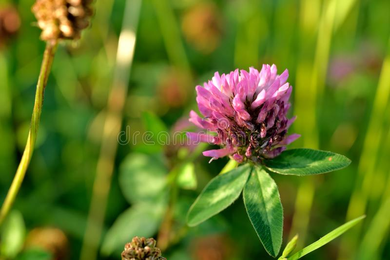 A red clover is flowering in full bloom between grasses royalty free stock photo