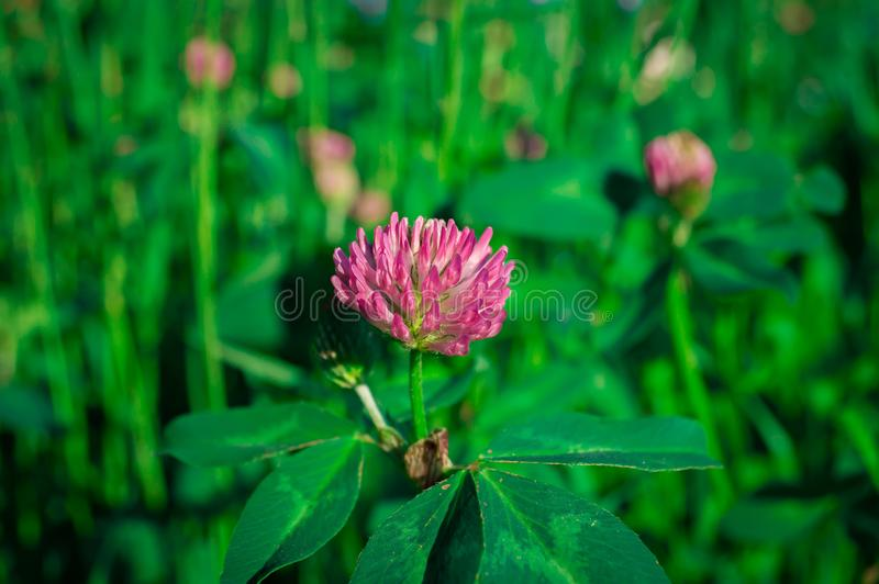 Red clover in macro royalty free stock photography