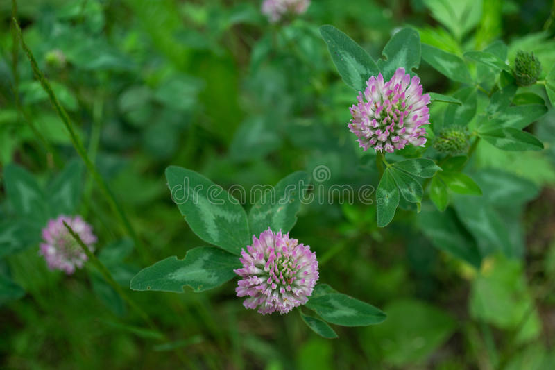 Red clover, or red clover (lat. Trifolium praténse). Red clover, or red clover (lat. Praténse Trifolium) growing in a meadow royalty free stock image