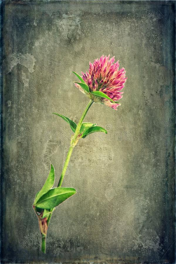 Red Clover on Texture. A flowering red clover plant is portrayed on a grungy textured background royalty free stock photography