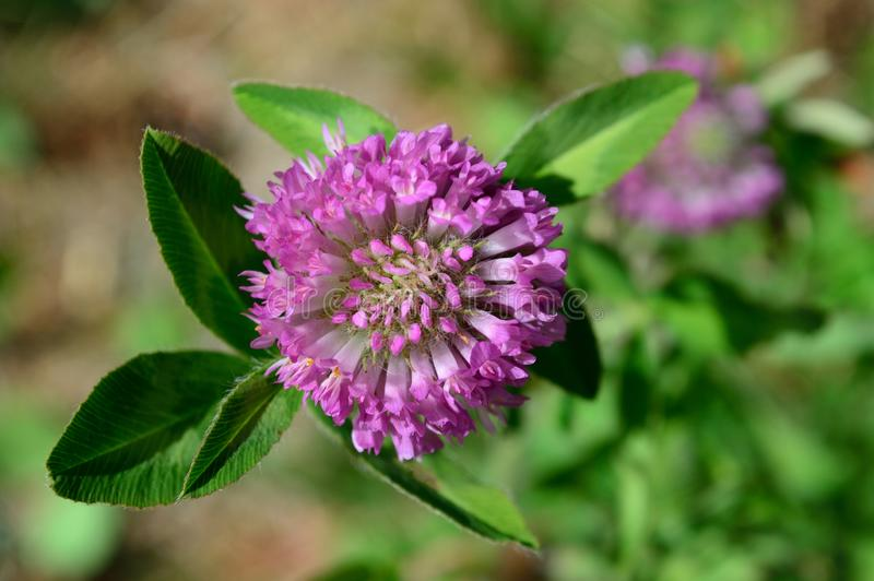 Trifolium pratense red cloverr Top View. Red Clover Top View. Trifolium pratense, the red clover, is a herbaceous species of flowering plant in the bean family royalty free stock images