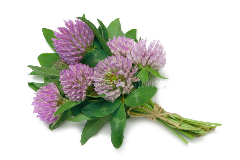 Red Clover (Trifolium pratense). Tied in a bunch with twine, isolated on white stock image