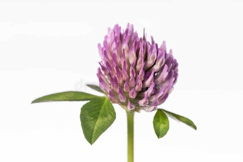 Red Clover - Trifolium pratense. An isolated flower cluster of the red clover or Trifolium pratense is displayed on a light background royalty free stock images